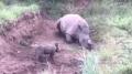 Un bébé rhinocéros tente de réveiller sa mère morte…