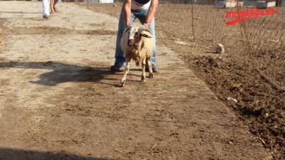 Le mouton de l'Aid: Les prix sont élevés et peu d'acheteurs