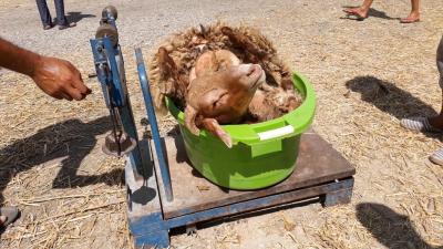Samir Taieb: Venez acheter un mouton à partir de 250d