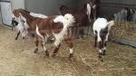 Vers la protection d'une race de chèvres menacée d'extinction