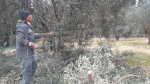 إنطلاق عملية تقليم أشجار الزيتون بالقيروان