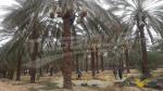 Démarrage de la saison de récolte des dattes à Kébili