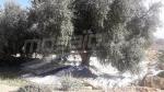 Démarrage de la récolte des olives à Gafsa