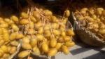 Les oasis de Tozeur produisent plusieurs variétés de dattes