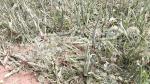 Sidi Bouzid: La chute de grêle provoque des dégâts considérables